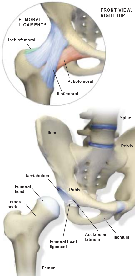 Anatomy Of The Hip Central Coast Orthopedic Medical Group