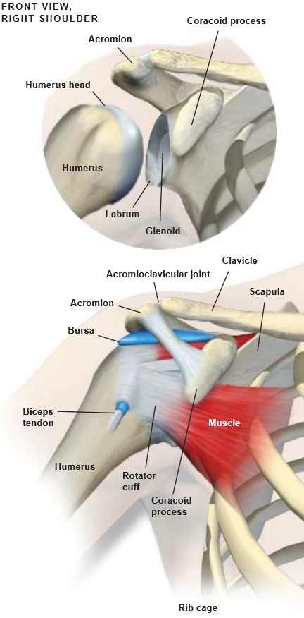 Anatomy Of The Shoulder Central Coast Orthopedic Medical Group